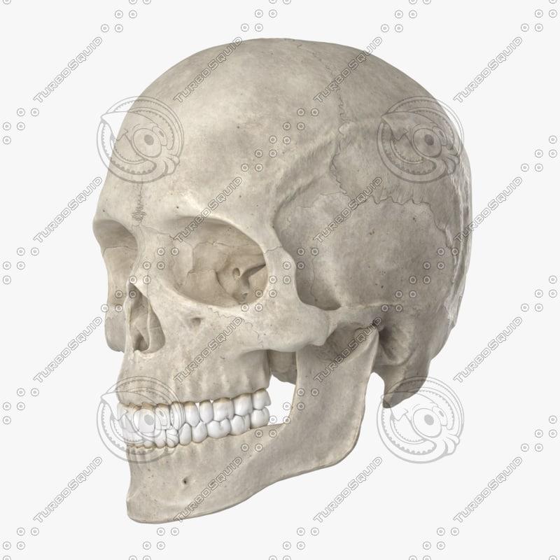 3D model human skull 22 bones anatomy - TurboSquid 1158032