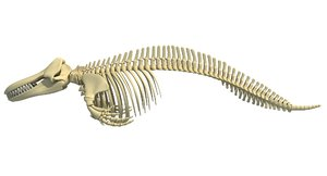3D killer whale orca skeleton animal