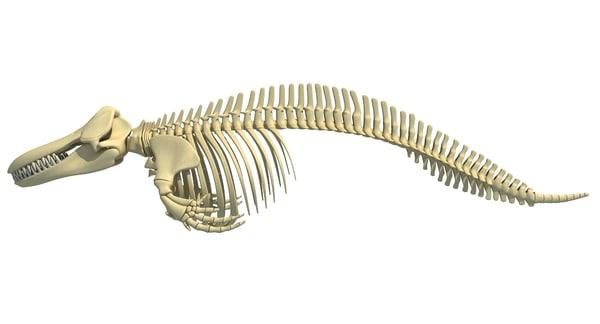 3D killer whale orca skeleton animal