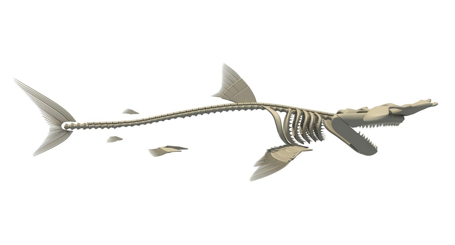 Hammerhead shark skeleton 3D model - TurboSquid 1158988