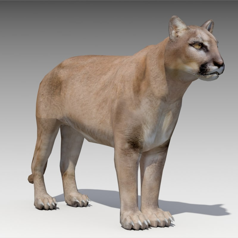 3D model cougar animations