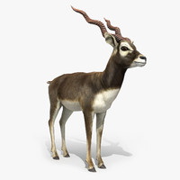 blackbuck antelope 3D model