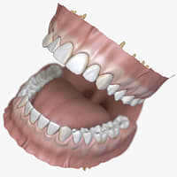 dentition stylized 3D model
