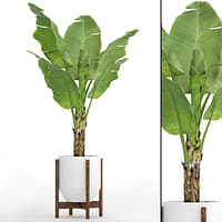 Banana Tree(4)