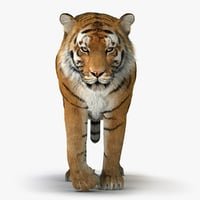 3D tiger animation fur 4