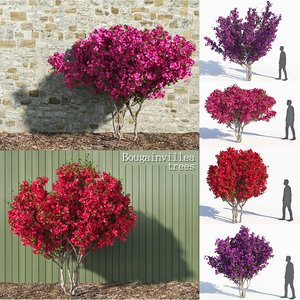 bougainvillea trees 3D model