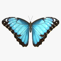 3D common morpho butterfly model