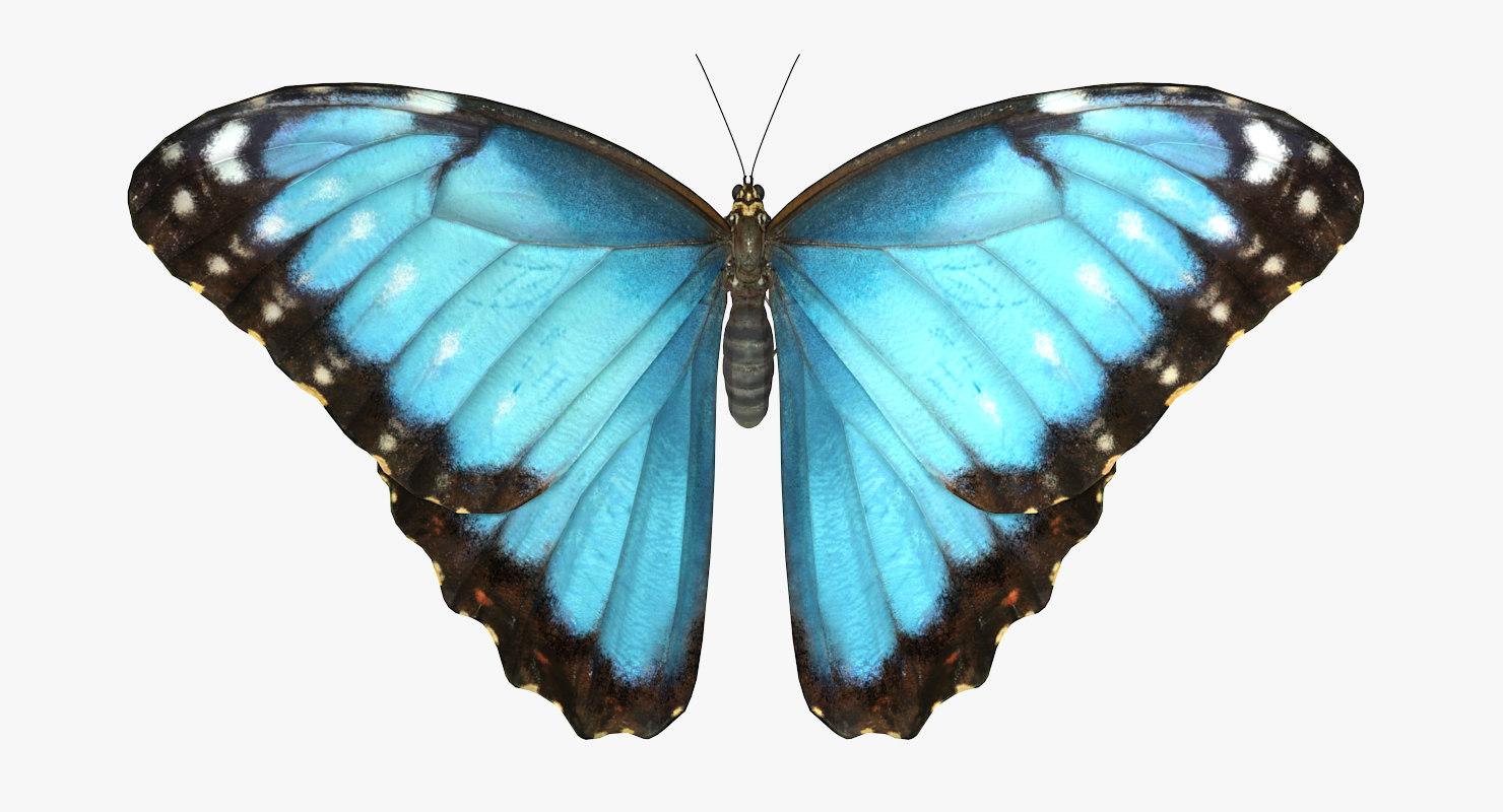 3D common morpho butterfly model