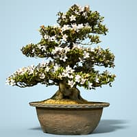 Satsuki Bonsai Tree Blossom 4
