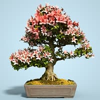 satsuki bonsai tree blossom model