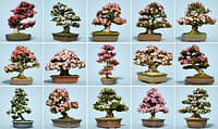 15 Satsuki Bonsai Tree Blossom Collection