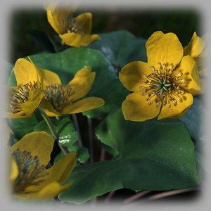 marsh marigold flowers model