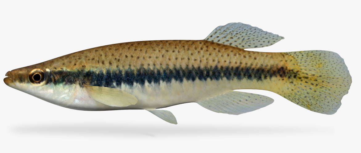 fundulus olivaceus blackspotted topminnow 3D model