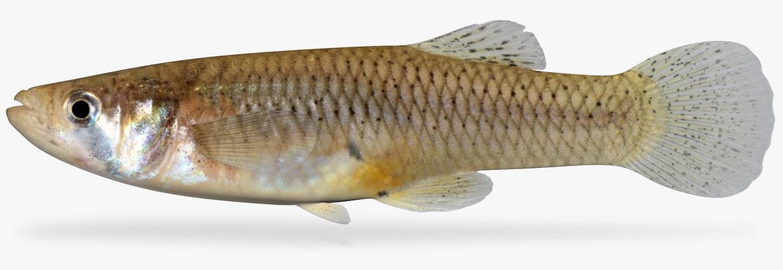 3D gambusia affinis western mosquitofish model