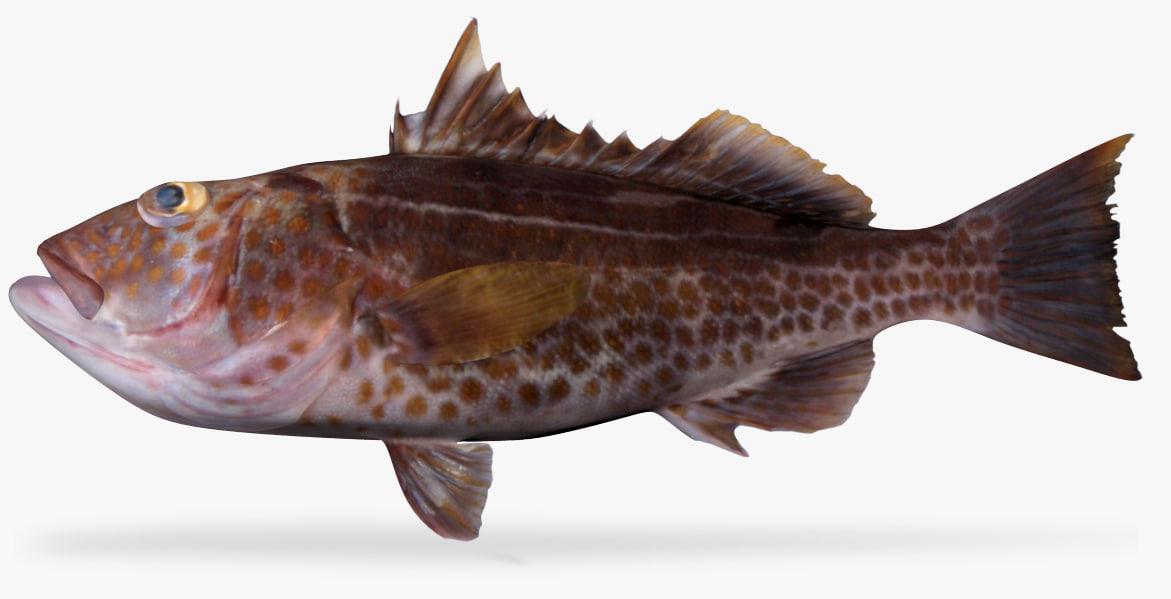 3D goldspotted sand bass