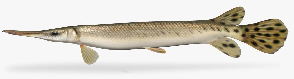 lepisosteus platostomus shortnose gar 3D model