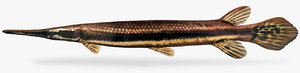 lepisosteus platyrhincus florida gar 3D model