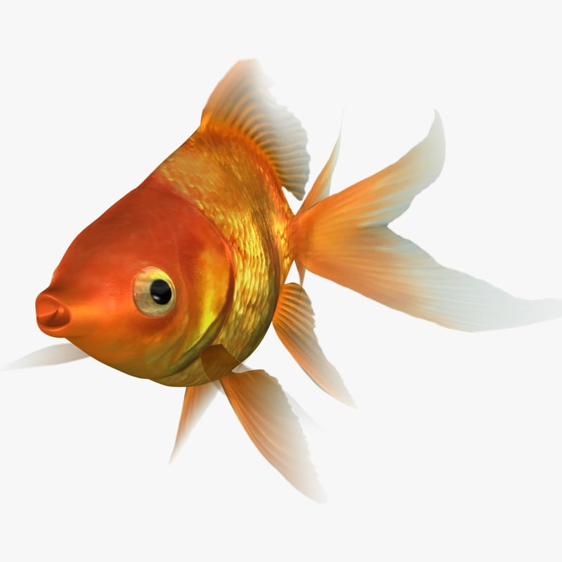 3D ryukin goldfish scanline animation model