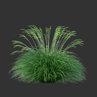 festuca mairei grass 3D model