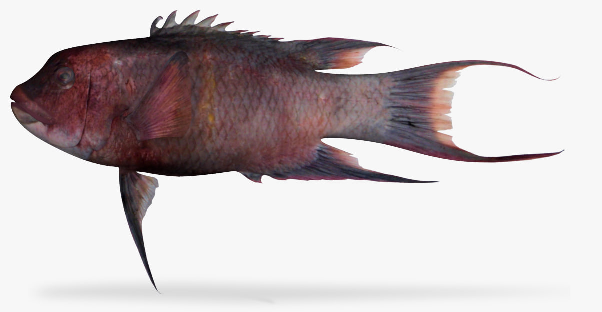 mexican hogfish 3D model