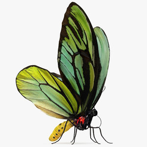 butterfly ornithoptera alexandrae fur 3D