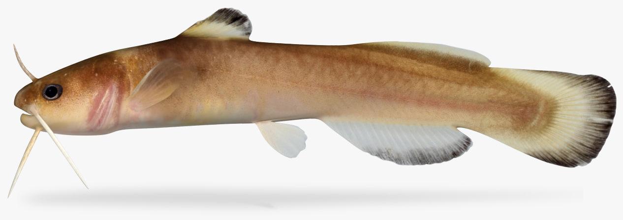 noturus exilis slender madtom 3D model
