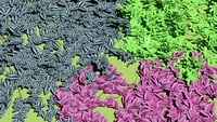Ground cover plants pack - Arachis Repens - Tradescantia Zebrina - Strobilanthes Dyerianus