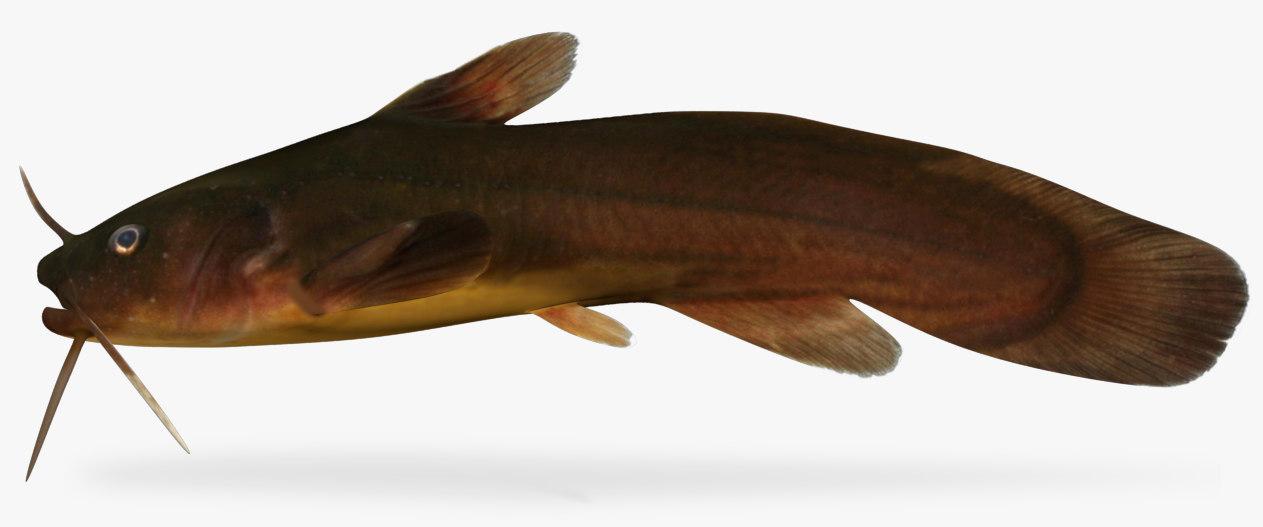 3D model noturus gyrinus tadpole madtom