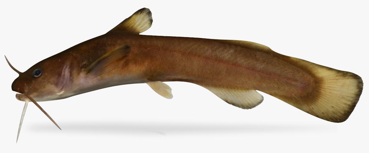noturus insignis margined madtom 3D