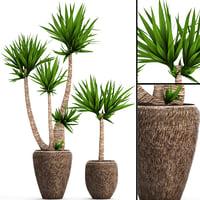 yucca elephantipes 3D model