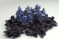 3D model groundcover ajuga reptans