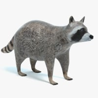 raccoon coon 3D model