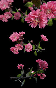 3D tree branch japanese cherry blossom model
