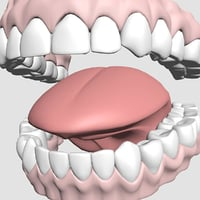 mouth teeth model