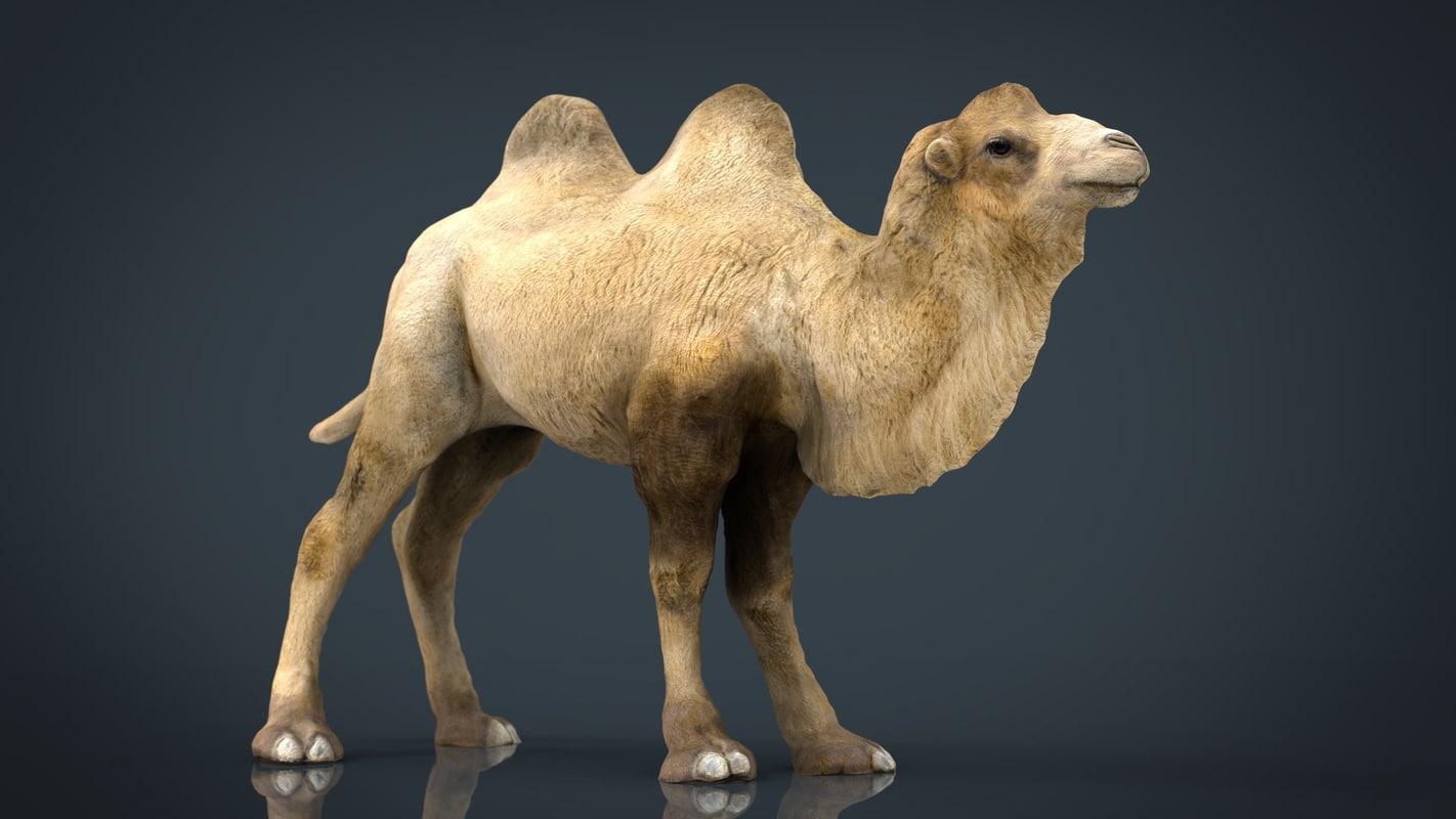 3D bactrian camel