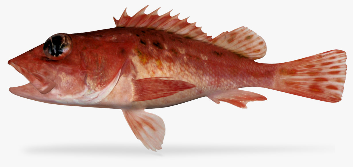 speckled scorpionfish 3D