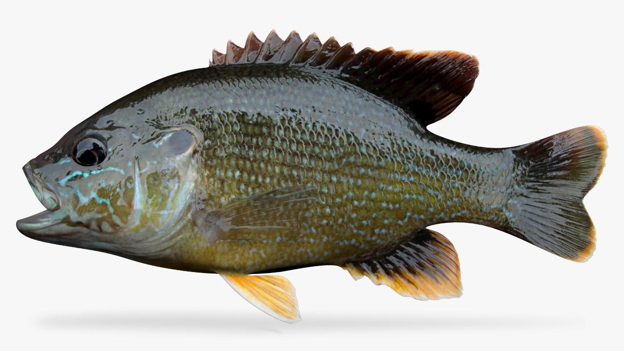 green sunfish 3D model