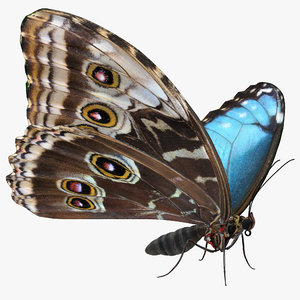 3D morpho peleides butterfly rigged model