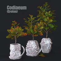 Codiaeum