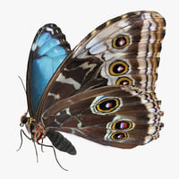 Morpho Peleides Butterfly Rigged with Fur