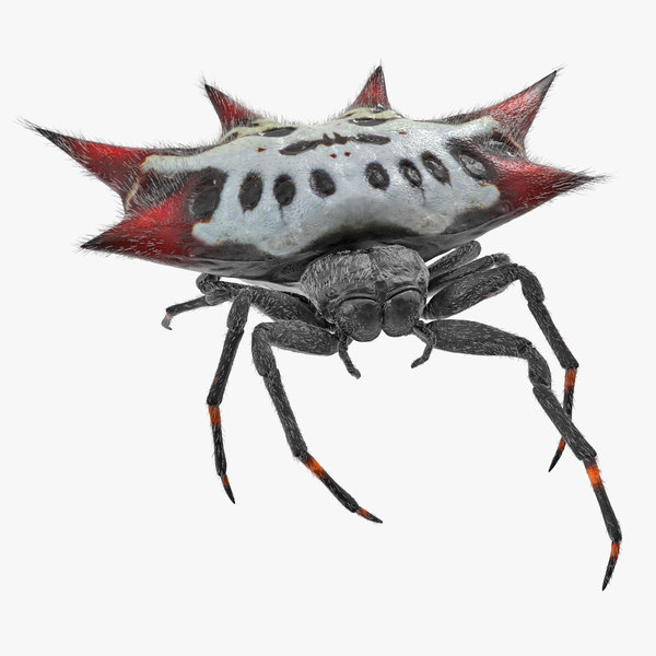 gasteracantha spider walking pose 3D model