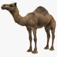 camel fur model