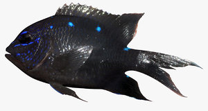 giant damselfish 3D model