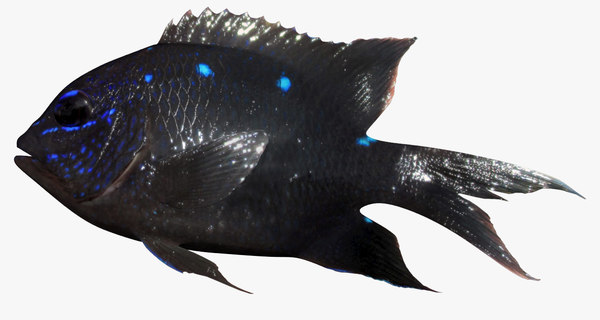 giant damselfish 3D model