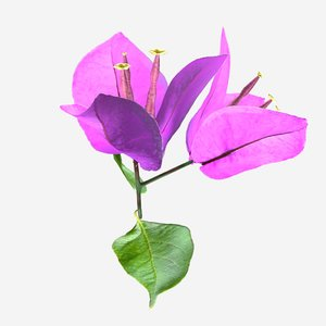 bougainvillea flower model