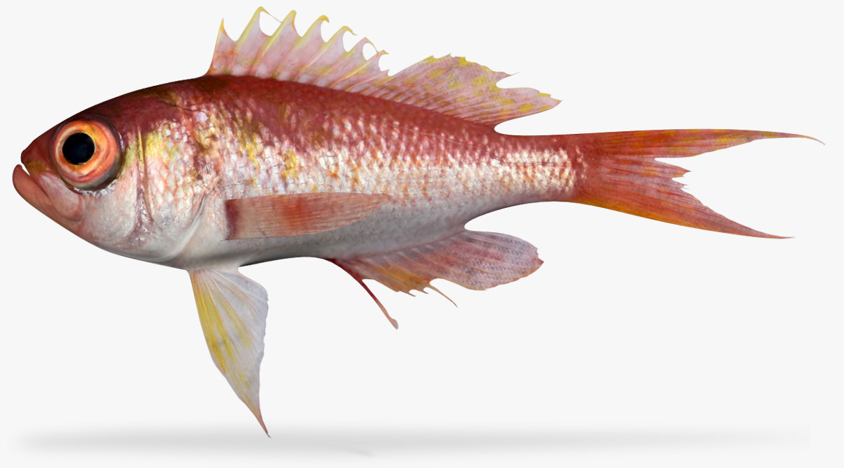3D bigeye bass model