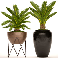cycas palm tree 3D model