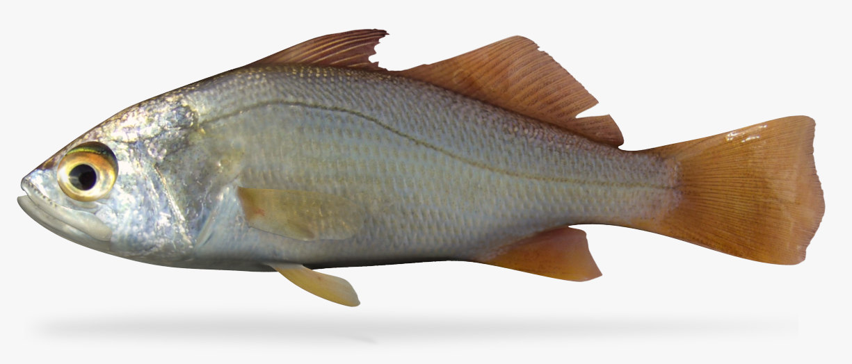 silver perch 3D