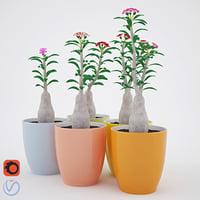 House Plant 2 Adenium_2