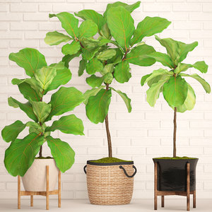 3D ficus lyrata trees model